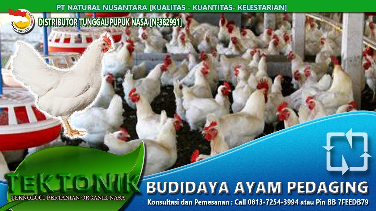 Rahasia Sukses pembesaran ternak Ayam Pedaging Cepat Besar ...
