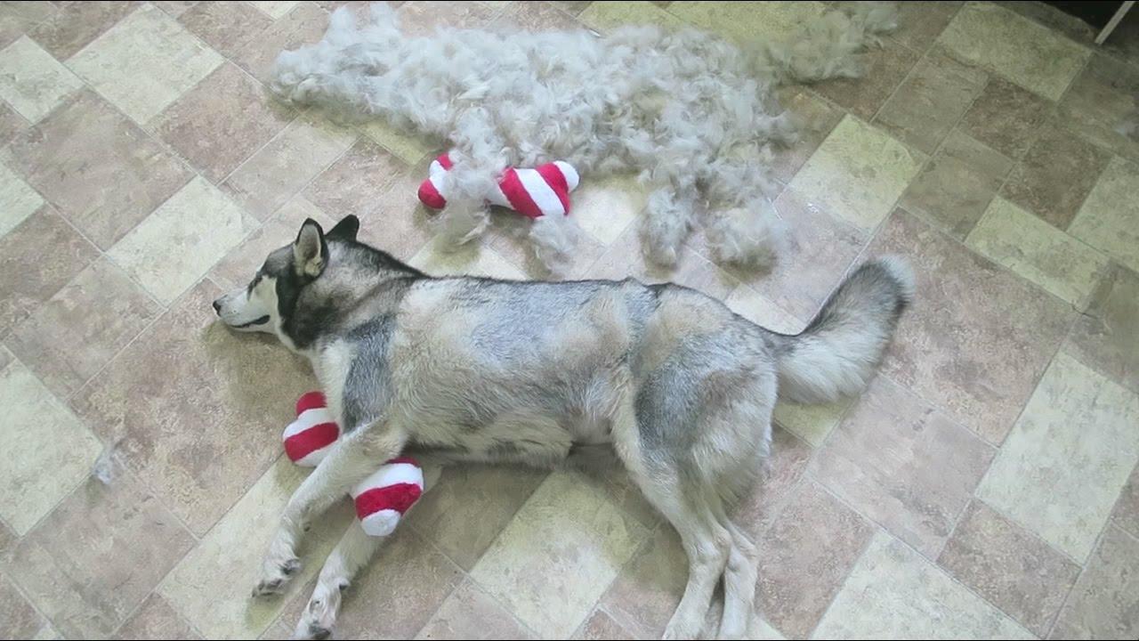 Deshedding My Husky Kitana Time Lapse How Much Fur Do Huskies