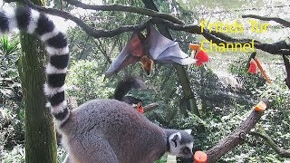 Flying-fox is Pissing to Kick Away the Insolent Squirrel - Funny Video
