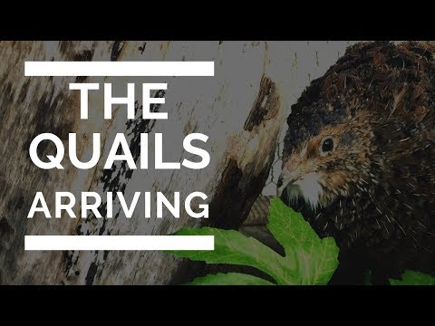 WILL THE QUAIL LOVE THEIR NEW HOME? | Any eggs yet?