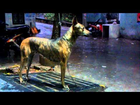 Chó Phú Quốc , loài chó vẫn còn dữ lại đặc tính hoang dã