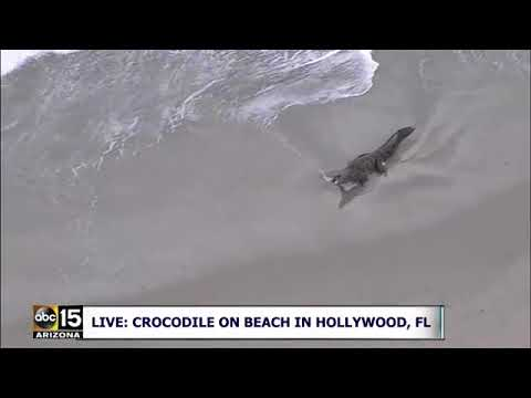 RAW FULL: Crocodile spotted on beach in Hollywood, Florida