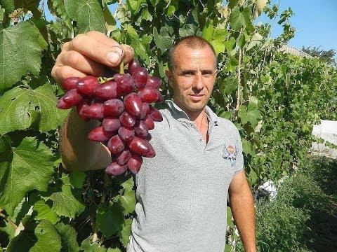 Сверх ранние сорта винограда. Сезон 2017. Часть 4.  (Over the early varieties of grapes. 2017_ 4)