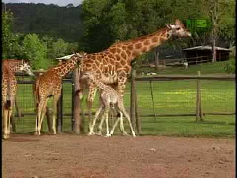 Growing Up Giraffe- Baby Giraffe Fall