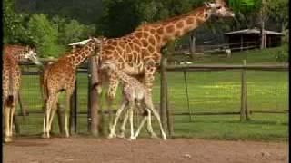 Growing Up Giraffe- Baby Giraffe Fall