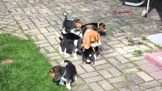Beagle Welpen 2015 Q-wurf