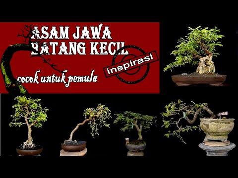 40+-contoh-bonsai-asam-jawa-(-tamarindus-indica-)-batang-kecil-paling-inspiratif