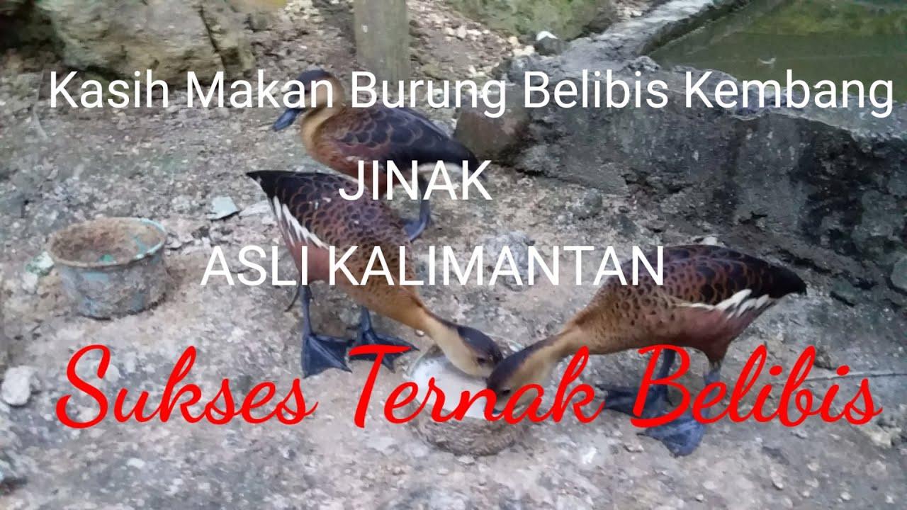 Kasih Makan Burung Belibis Kembang Kalimantan Jinak Sukses Ternak Belibis Youtube