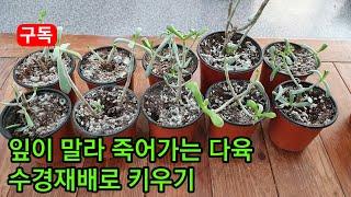 다육 잎을 떨구고 말라 죽어가 수경재배하기