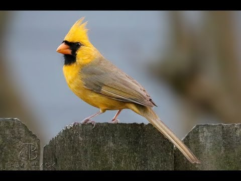 Robin Rock - A YELLOW cardinal?