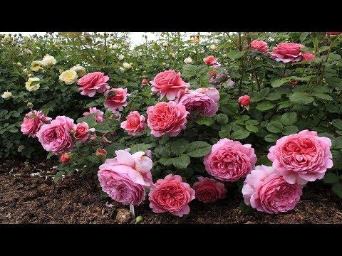 Английская роза. Описание сортов.  Уход и выращивание