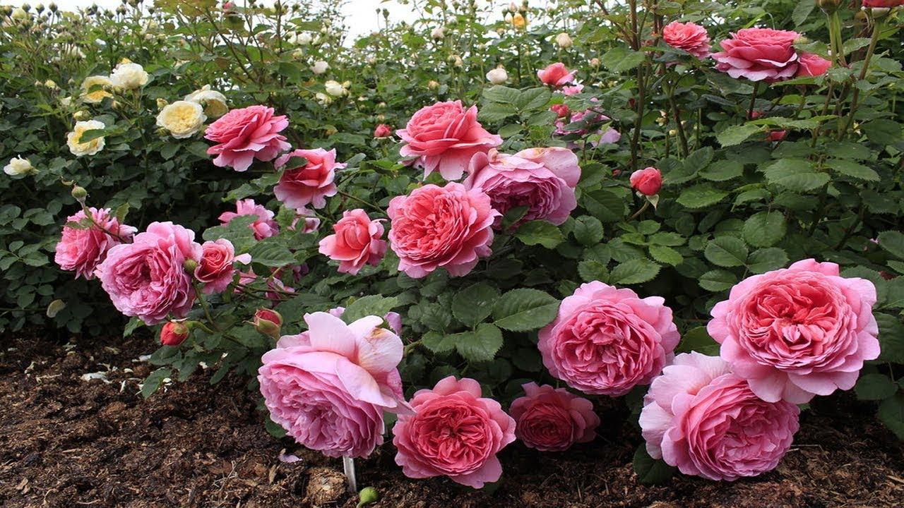 Английская роза. Описание сортов. Уход и выращивание - YouTube