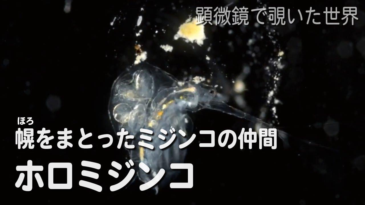 ホロミジンコ(Holopedium gibbe...