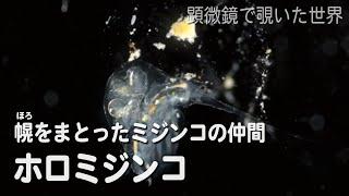 ホロミジンコ(Holopedium gibberum)