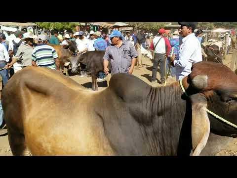 Comprando Toros Gyr con Brahman El Salvador