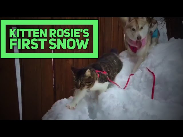 Kitten Rosie's First Snow with Husky Pack