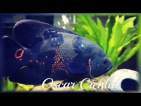 Oscar Cichlid | Healing Of Deep Wound