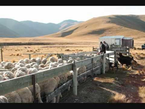 new zealand high country sheep muster