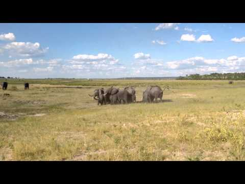 Elephants vs Wild Dogs Standoff at Chobe National Park in Botswana