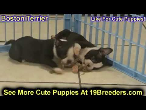 Boston Terrier, Puppies, Dogs, For Sale, In Charleston, West Virginia, WV, 19Breeders, Parkersburg