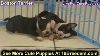 Boston Terrier, Puppies, For, Sale, In, Charleston, West Virginia, Wv, Williamson, Culloden, Kenova,