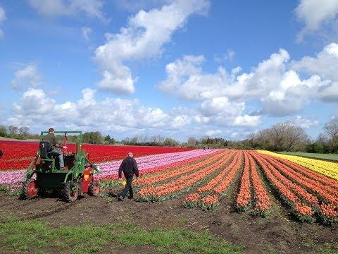 De danske tulipaner