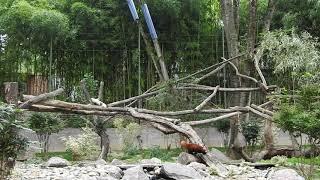 アジアの動物を一緒に飼育する混合展示場 ミャンマーレッサーパンダは中...