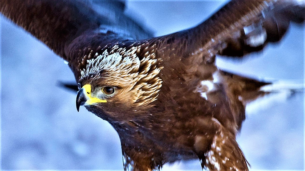 20-largest-birds-of-prey