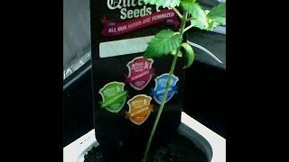 b c f weed astuces votre plants part en flche au tout dbut simple bcf