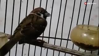 Download lagu Burung gereja gacor mantap buat masteran
