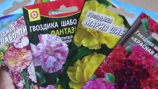 видео Гвоздика шабо. Выращивание из семян и уход