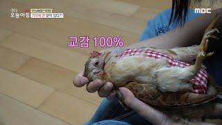 [생방송 오늘 아침] 기저귀 찬 닭이 있다?!, MBC…