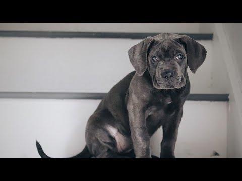 cane-corso-puppy-training!
