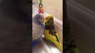 Попугай признается в любви ВВП Чех