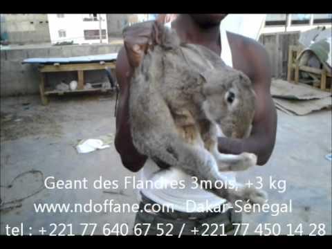 Geant des Flandres - YouTube