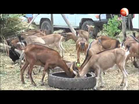 EAFF deal will see goat exports to Djibouti market from Kenya