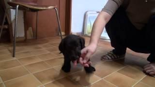 フラットコーテッドレトリバーの子犬です。 AW111018-6 子犬の詳細は → ...