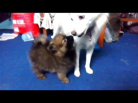 Pomeranian playing with Japanese Spitz ( Dog Vlog ) Nepal ( Funny Pomeranian )
