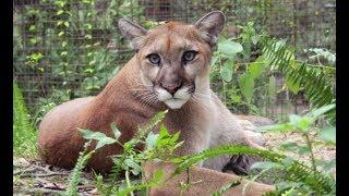 LIVE: Rescue Cougar Feeding at Big Cat Rescue | The Dodo