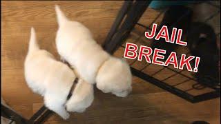 ESCAPE & CHAOS  Puppies go berserk!