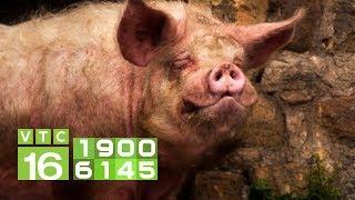 Điều trị bệnh viêm tử cung sinh mủ cho lợn nái sau phối giống I VTC16