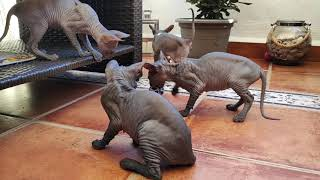 Lovely sphynx kittens playing / DonSphynx /