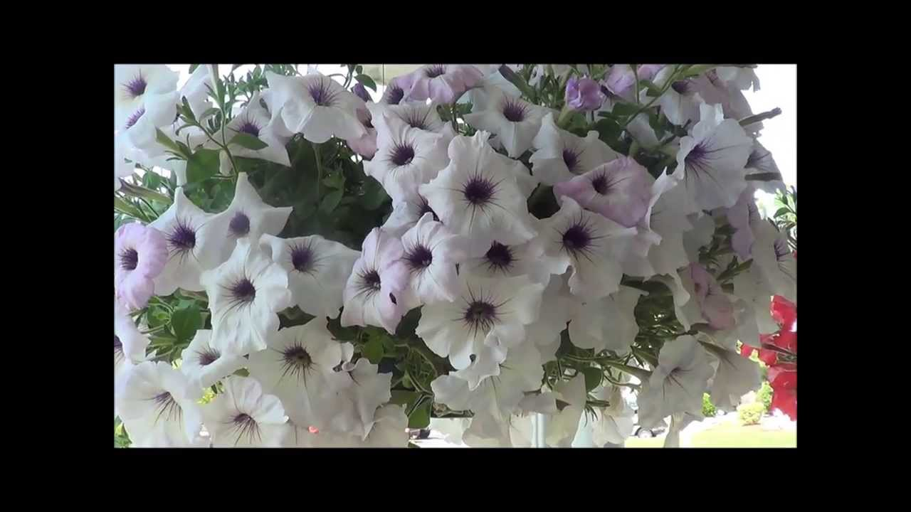 How to grow petunia from seeds - Petunias Care Growing Petunia Flowers