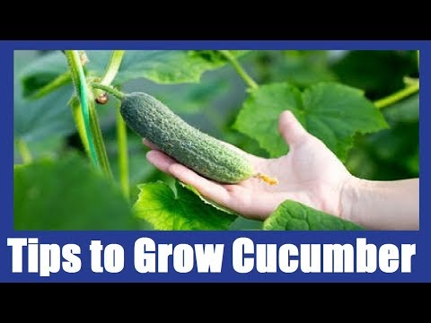 Tips to Grow Cucumbers at Home  Kitchen Gardening  2018