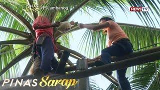 Pinas Sarap: Buwis-buhay na pagkuha ng tuba para gawing lambanog