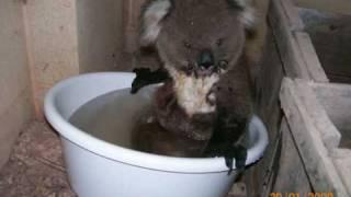 Best Story Koala - Australian Heat