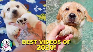 TOP 10 CUTEST LABRADOR VIDEOS OF 2020!!