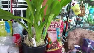 Grammatophyllum Orchid, Repot