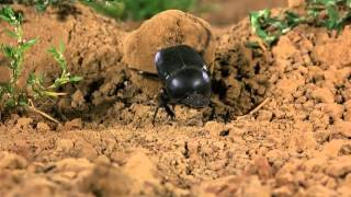 Microcosmos - Dung beetle rolls ball and gets stuck.