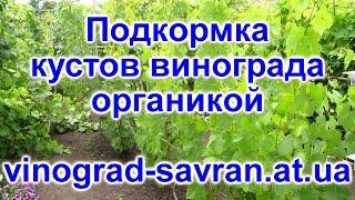 видео Органическое удобрение  и подкормка винограда